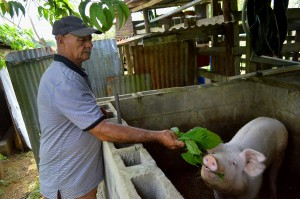 Miguel Rojas uses the natural resources on his farm sustainability, including the versatile nacedero plant that is made into food for pigs, chickens and tilapia.  alimentar a cerdos, pollos y tilapias.