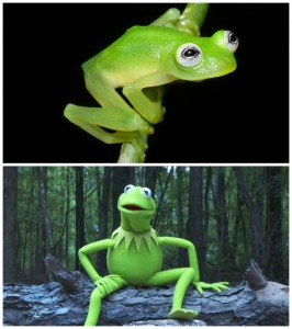 The glass frog is famous because it's similarity with