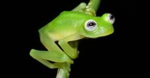 Photo credit: Brian Kubicki (Costa Rican Amphibian Research Centre)