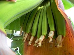 These tiny unripe bananas have lots of growing to do before they are harvested.