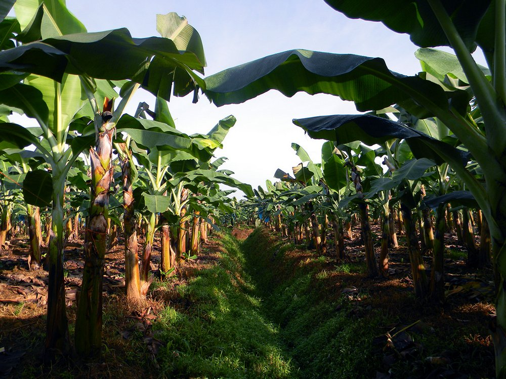 This is EARTH's banana plantation, it measures just over 800 acres and is divided into blocks surrounded by forest to guarantee a biodiverse environment.