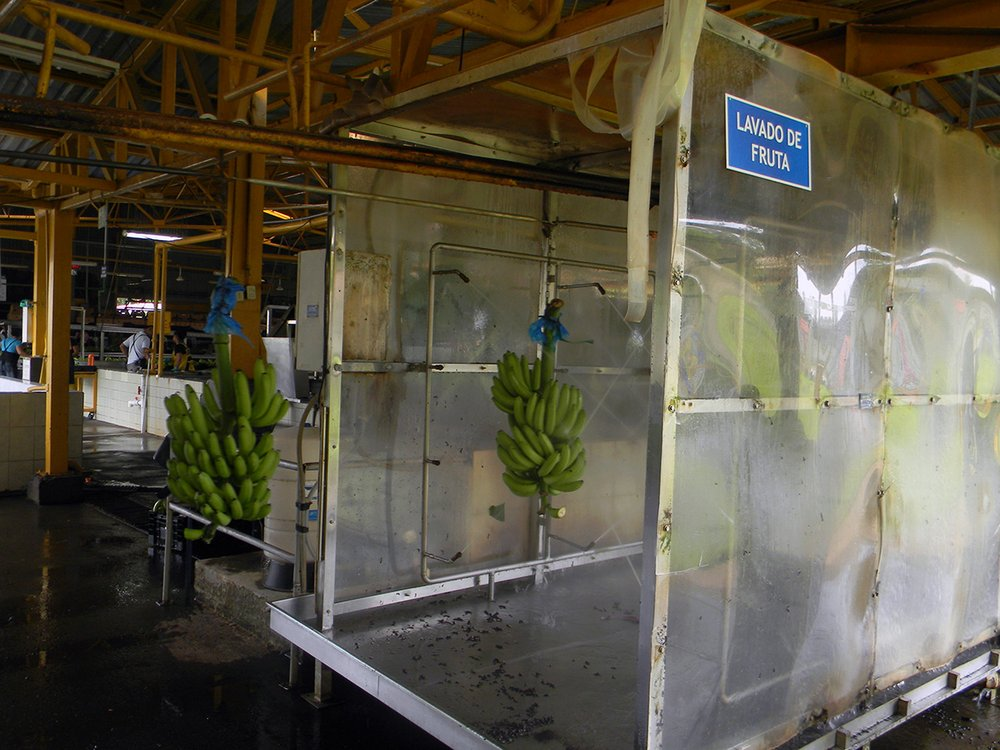 Pressurized water moves the bananas to the weighing area and the second round of selection.