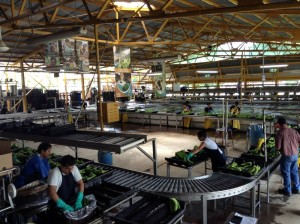 EARTH's banana packing plant is constantly in motion throughout the work day.