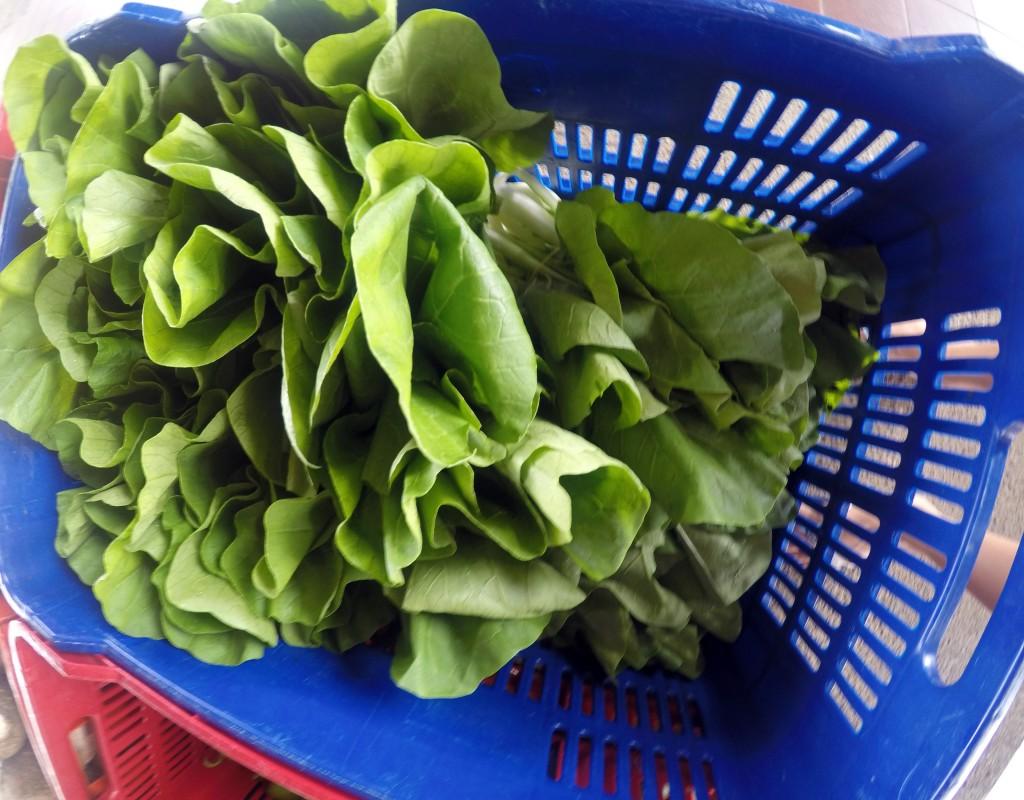 Lettuce produced in the Univesity Peri-urban garden.