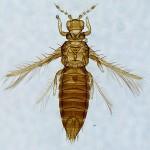 Mangos Selenothrips rubrocinctus female