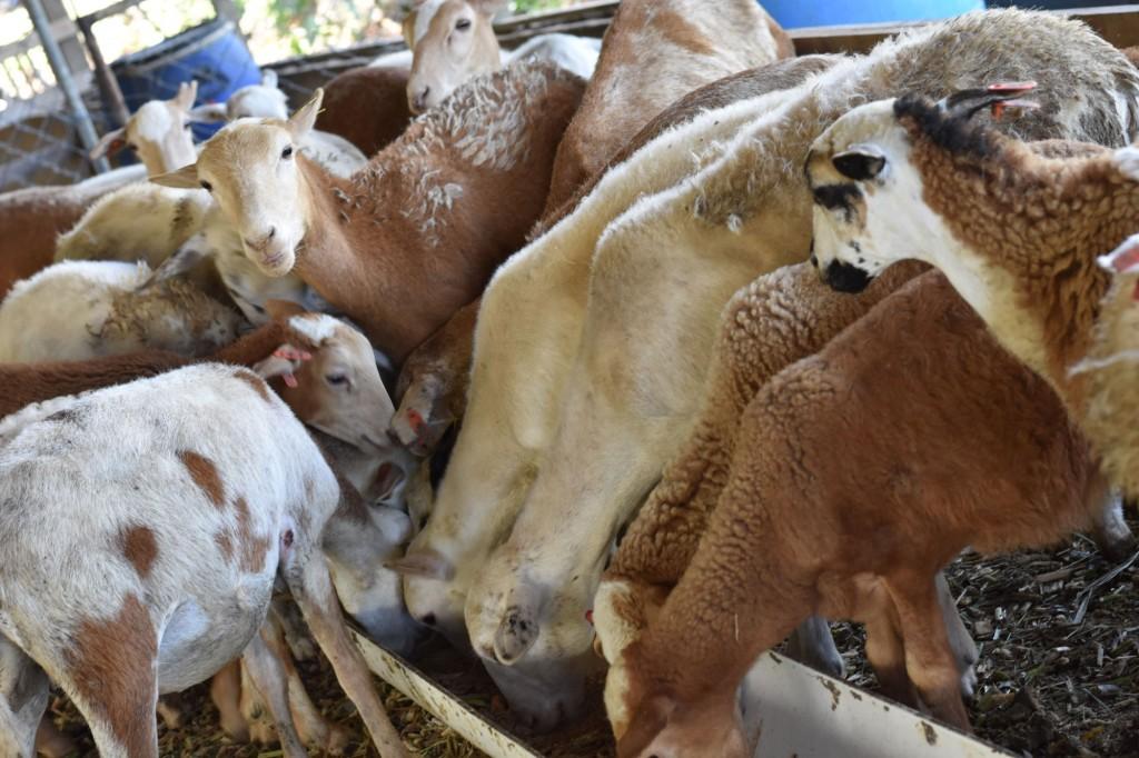 La carne de cordero debe competir no sólo con la carne de vaca, cerdo y aves, sino muchas veces también con carnes especiales como la ternera, el venado y el lechón, y es considerada una delicatessen o alimento muy selecto.