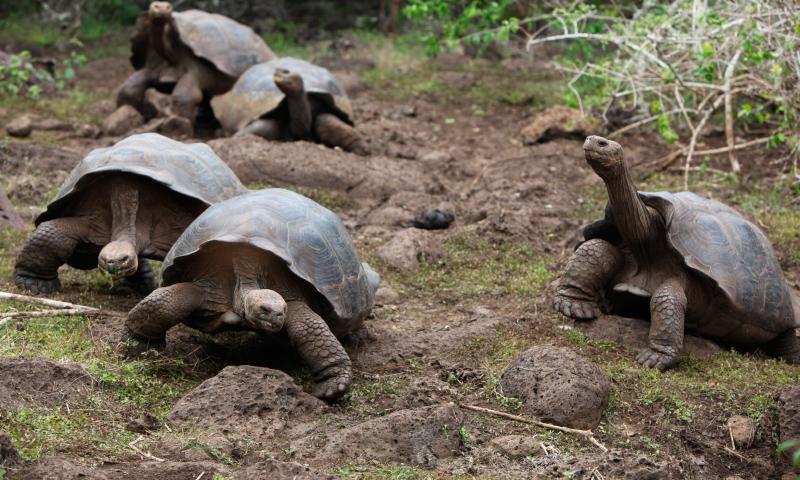 Tortugas pertenecientes al Complejo Chelonoidis nigra, un grupo de especies que son conocidas por ser endémicas de las islas Galápagos.