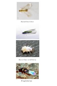 Nacarina Titán y Cordillera -de la familia de los Perlidos- y una avispa parasitaria de la familia Plagiomerus