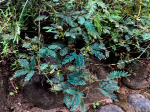 Touch-Me-Not (Mimosa Pudica)