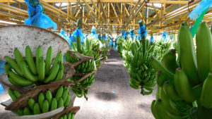 EARTH bananas are grown with far fewer pesticides.